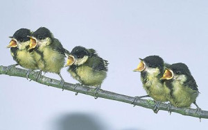 Great Tit chicks 73509480